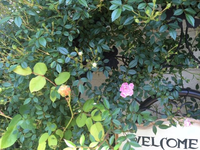 小さいピンクの薔薇.JPG
