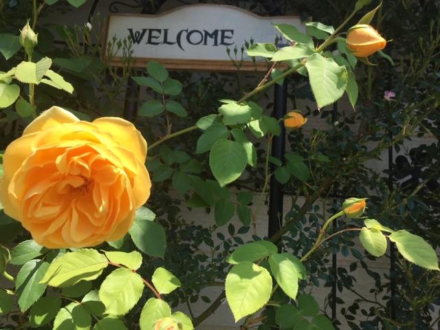 黄色い薔薇1.JPG