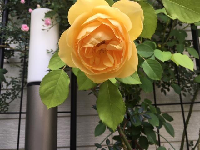 黄色い薔薇2.JPG