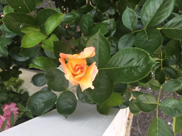 黄色い薔薇3.JPG